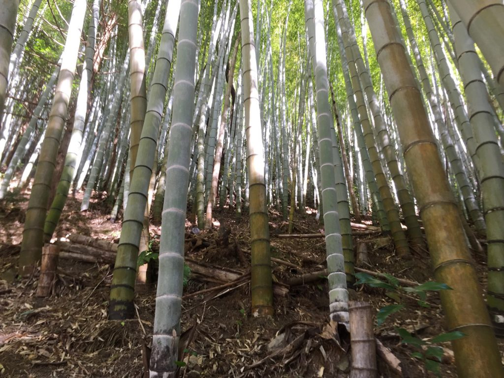 石谷山ハイキングコース 竹林を進む