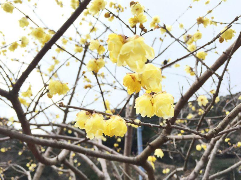 黄色い春の花、ろうばい
