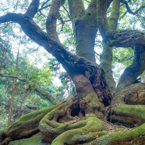 竜爪山 則沢登山口 ウラジロガシの大木